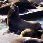 Leões marinhos que moram no Pier 39. Tem uns 200 atualmente.
