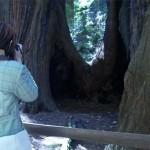 """Lydia tirando foto do oco de uma """"família"""" de árvores. As sequóias também se propagam através de sistema de raízes, formando """"círculos familiares"""" de árvores que são clones genéticos umas das outras."""